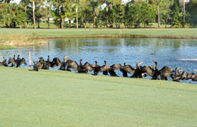 Flock of birds on Golf Course